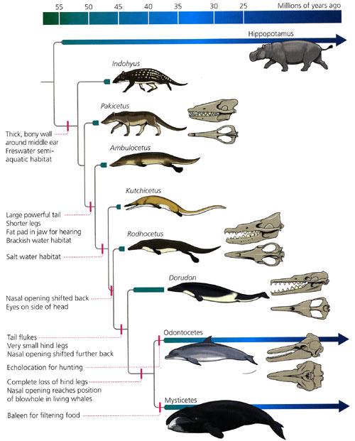 Valens evolution. Lägg märke till att de fossil som avbildas troligen inte är direkta anfäder till de moderna valarna, utan har en gemensam anfader med dem vid olika tidpunkter.
